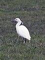 Little Egret (40016250514).jpg