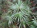 Livistona australis 3.jpg