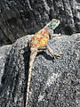 Lizard-Table-Mountain.jpg