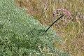 Lomatium columbianum 3175.JPG