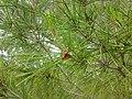 Lone Pine leaves 2.jpg