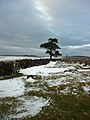 Lone tree on Fylingdales Moor - geograph.org.uk - 270503.jpg