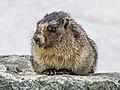 Lonely Whistler marmot.jpg