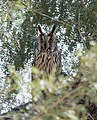 Long-eared Owl (Asio otus) (48323946457).jpg