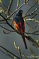 Long-tailed Minivet - Bhutan S4E9727 (17026706092).jpg