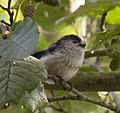 Long tailed tit 4 (3925711091).jpg