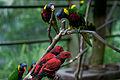 Lorikeets -Kuala Lumpur Bird Park, Malaysia-8a.jpg
