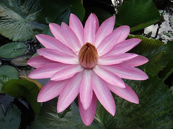 File:Lotus12.jpg