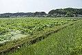 Lotus field in Namegata, Ibaraki 05.jpg