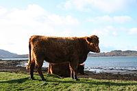 Luing Cattle.jpg