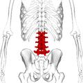 Lumbar vertebrae posterior2.png