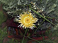 Lumio Carpobrotus edulis jaune.jpg