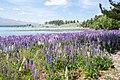 Lupinus sp. at Lake Tekapo, New Zealand 13.jpg