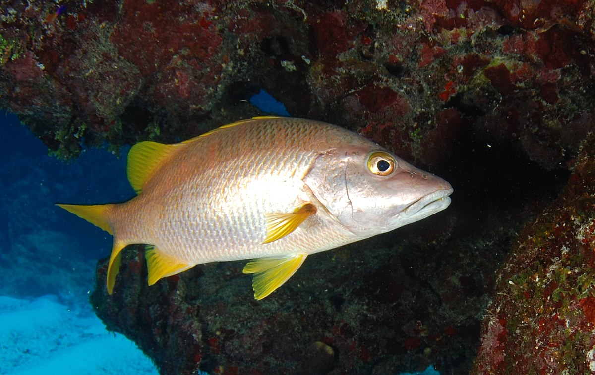 Schoolmaster snapper wikipedia for Snapper fish florida