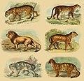 Lydekker - Pantherinae collage.jpg