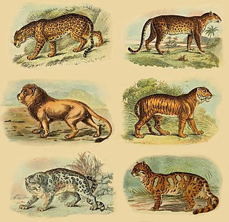 Pantherinae - Pantherinae subfamily (from left): jaguar, leopard, lion, tiger, snow leopard and clouded leopard