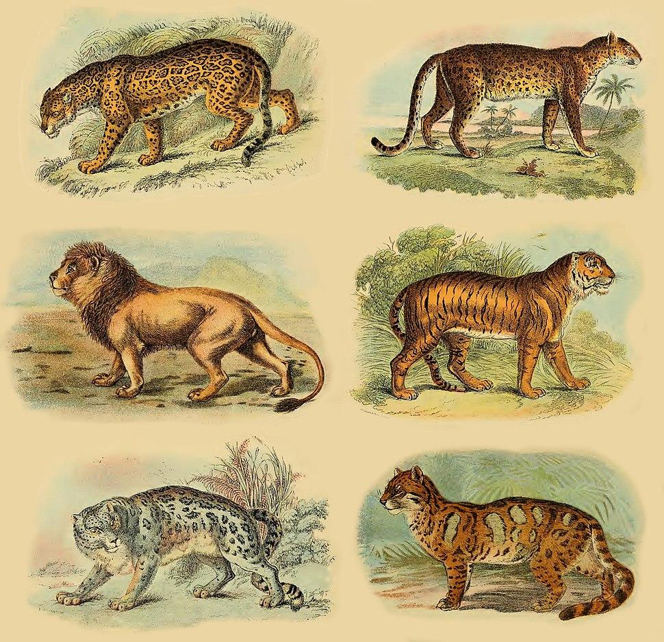 Lydekker - Pantherinae collage