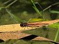 Mönichwald - Adonisjungfer am Amphibienteich II.jpg