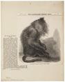 Macacus silenus - 1859 - Print - Iconographia Zoologica - Special Collections University of Amsterdam - UBA01 IZ20000091.tif