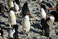 Macaroni Penguins at Cooper Bay, South Georgia (5893008458).jpg