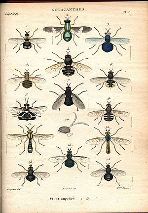 Justin Pierre Marie Macquart - A plate from Histoire naturelle des insectes. Dipteres