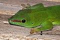 Madagascar day gecko (Phelsuma madagascariensis madagascariensis) 2.jpg