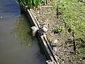 Madarin duck.JPG