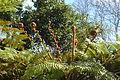 Madeira - tree ferns unfurl (23996169623).jpg