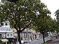 Magnolia grandiflora.101 - A Coruña.JPG