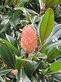 Magnoliafruit.jpg