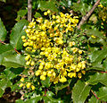 Mahonia pinnata ssp insularis 3.jpg