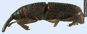 Maize Weevil - Sitophilus zeamais (side view).jpg