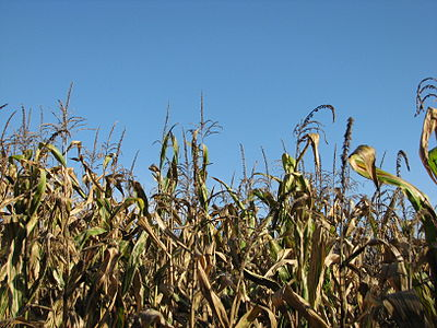 Slika:Maize autumn.JPG