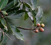 Makrisal (Schima wallichii) fruit at Samsing, Duars, West Bengal W IMG 5963.jpg