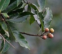 Makrisal (Schima wallichii) fruit at Samsing, Duars, West Bengal W IMG 5963