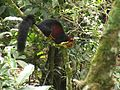 Malabar giant squirrel Periyar TR.jpg