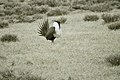 Male Greater Sage-Grouse (6948199942).jpg