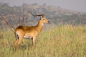 Male Ugandan kob - Queen Elizabeth National Park, Uganda (4).jpg