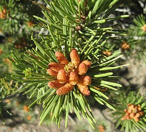 Pinus contorta - A cluster of pollen-bearing male cones at Mount San Antonio