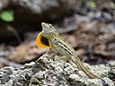 Male striped anole (Anolis lineatus) displaying dewlap.jpg