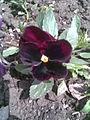 Malpighiales - Viola x wittrockiana 6 - 2011.05.11.jpg