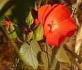 Malvaceae (Pavonia rosa-campestris) (48326350262).jpg