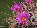 Mammillaria melanocentra (8718497620).jpg