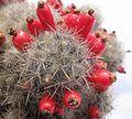 Mammillaria prolifera texana.jpg