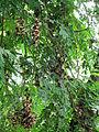 Manchadi tree.JPG