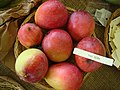 Mango VanDyke Asit fs8.jpg