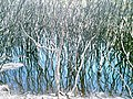 Mangrove - Bay of Fires Wilderness 02.jpg