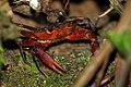 Manicou crab (Rodriguezus garmani) young adult.jpg