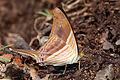 Many-banded daggerwing (Marpesia chiron) underside.JPG
