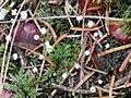 Marasmius epiphyllus 96606027.jpg